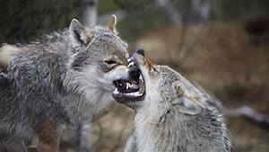 Hd Grey Wolf Facts And Pictures