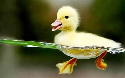 Duck Wallpapers Animals