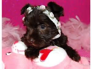 Teacup Miniature Schnauzer Puppies