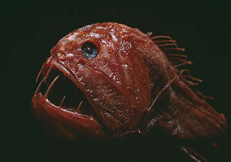 weirdest fish   ocean csmonitorcom