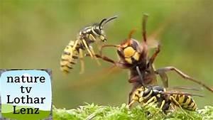 Kupfer Gegen Wespen : hornets and wasps attack each other hornissen und wespen ~ Watch28wear.com Haus und Dekorationen
