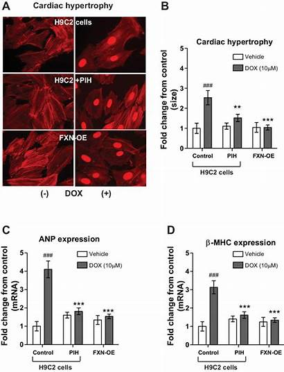 Hypertrophy Cardiac Dox Induced Fxn Oe Protects
