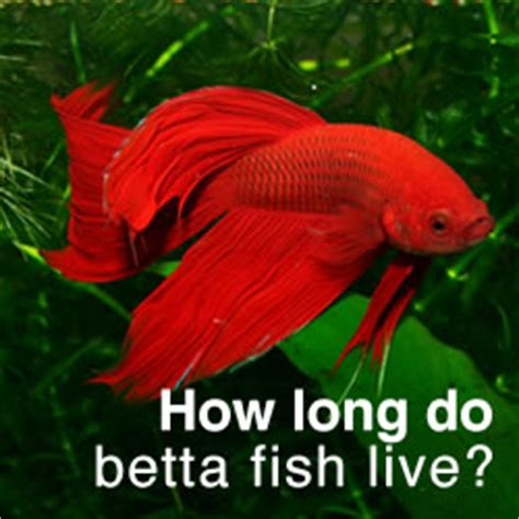 how do beta fish live betta fish bubble nests everything you need to know