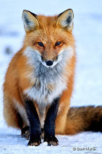 Zorro Animal Wallpaper - fox list zorro rojo animales y