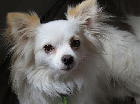 chihuahua cani  piccola taglia