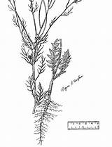 Coloring Plant Seed Mustard Pages Sisymbrium Sketch Altissimum Template sketch template