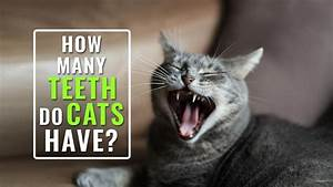 How Many Teeth Do Cats Have  10 Important Facts About Cat Teeth