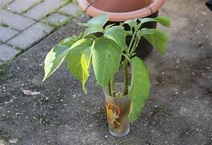 Gartenhibiskus Vermehren Stecklinge : engelstrompete durch stecklinge vermehren majas pflanzenblog ~ Lizthompson.info Haus und Dekorationen