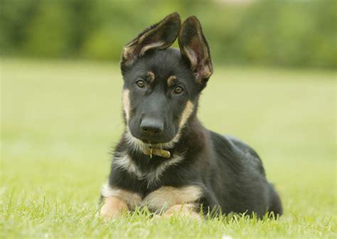 smartest breeds 10 smartest dog breeds