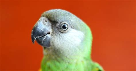 perroquet d afrique youyou du s 233 n 233 gal