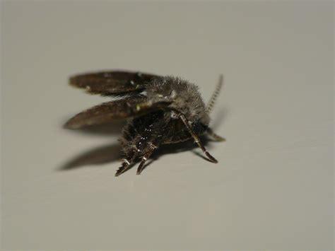 drain flies drain fly clogmia albipunctata a photo on flickriver