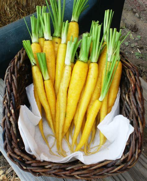แครอท สีเหลือง - Solar yellow carrot - ChangBkk Shop