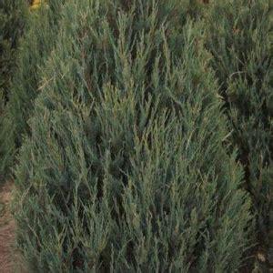 Juniperus scopulorum 'Skyrocket' - Klinškalnu kadiķis