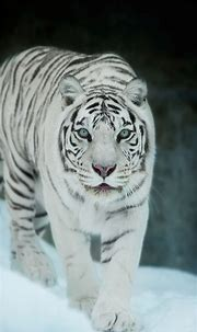 1080x1920 white tiger, tiger, animals, hd, snow for Iphone ...