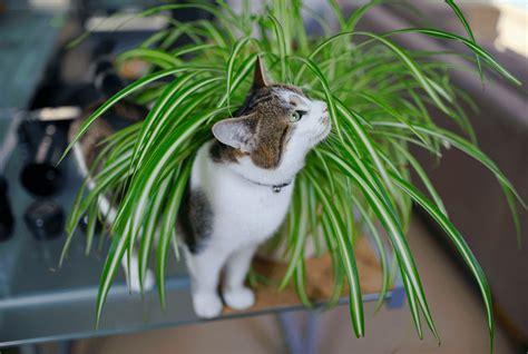 Cocos nucifera cats
