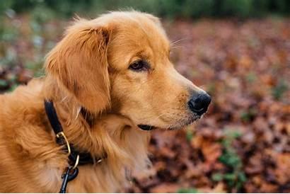 Golden Retriever Adorable Walks Dog Happy