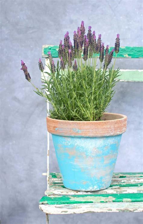 planter lavande en pot planter de la lavande id 233 es conseils et astuces