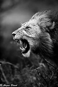 lion roar on Tumblr