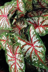 Caladiums, Online, -, Bates, Sons, And, Daughters