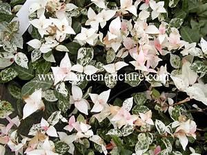 Immergrüne Kletterpflanze Winterhart : abbildungen und beschreibung von trachelospermum asiaticum tricolor ~ Yasmunasinghe.com Haus und Dekorationen