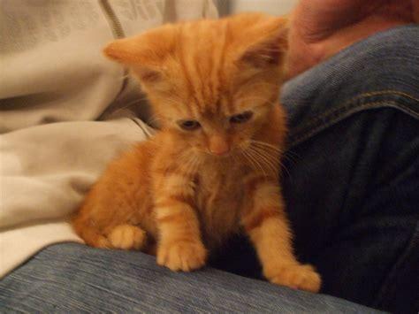 Gorgeous Male Ginger Kitten For Sale Hemel Hempstead