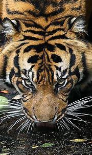 eye of the tiger | Tiger, Animals, Big cats