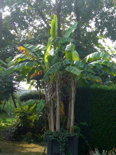 musa basjoo kaufen musa basjoo winterharte banane japanische faserbanane g 252 nstig kaufen