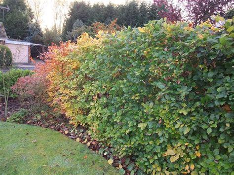 12 arbusti ideali per la coltivazione in ombra guida giardino. Siepi miste e informali - Piante da Giardino - siepi miste