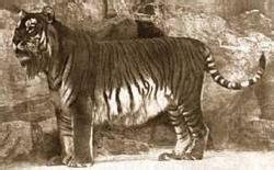 tigre persiana animali estinti il sull orlo mondo