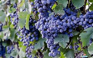 Desktop grapes fruit pics wallpaper