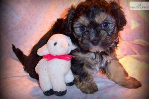 Chi-Poo - Chipoo puppy for sale near Springfield, Missouri ...