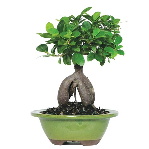 Bonsai Ficus Ginseng Pflege by Ginseng Grafted Ficus Microcarpa Indoor Bonsai 6 8 Quot