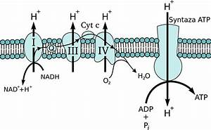 File Mitochondrial Electron Transport Chain Short Pl Svg