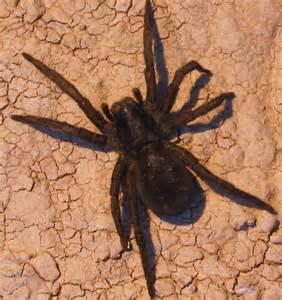 Black Spider with Orange Spot
