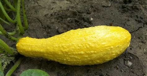 how to cook yellow squash food glorious food a culinary obsession tips for cooking summer squash