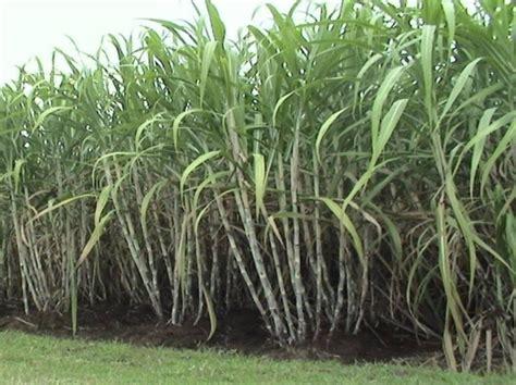 sugar kopi sugarcane crop farming punjab apni kheti