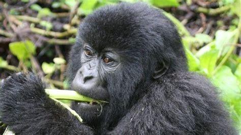 Alimenti Contengono Fitoestrogeni by Mangiare Come I Gorilla Previene L Insorgenza Di Tumore Al