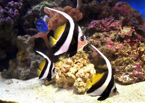 life  schooling bannerfish life  sea