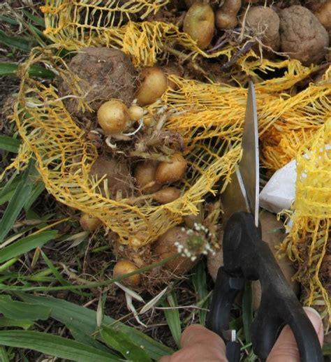 planter des pommes de terre germ 233 es