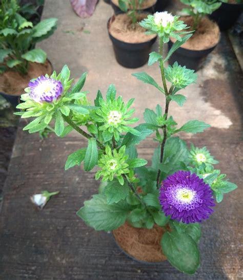 jual tanaman aster ungu tumpuk bibitbungacom