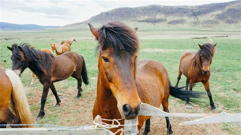 horse meat america eating equine horsemeat flicka horses food articles could shares