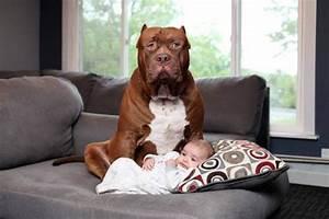 Babysit Or Baby Sit Hulk The Biggest Pitbull In The World Is Babysitting