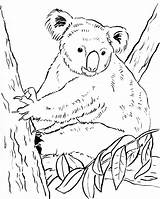 Koala Coloring Pages Bears Bear Colouring Printable Drawing Printables Awesome Getdrawings Category Pdf Samanthasbell Getcolorings Popular sketch template