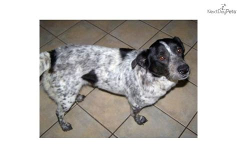 blue tick heeler shedding adopt dixie a australian cattle blue heeler puppy for