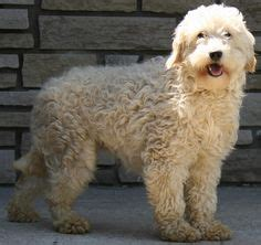 dogs that dont shed labradoodle 1000 images about large dogs that don t shed on