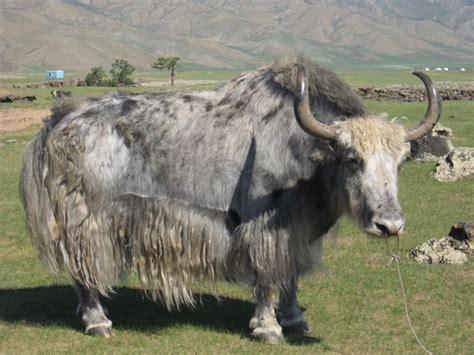 bison buffalo  yak images  pinterest bison