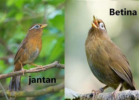 Mengenal lebih dekat burung flamboyan | perbedaan jantan dan betina flamboyan. Ciri burung wambi jantan dan betina | JBBKICAU