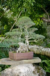 japanese garden bonsai fig bonsai tree at the morikami japanese garden clippix