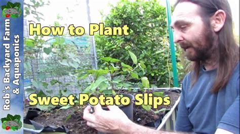 How To Plant Sweet Potato Slips Youtube