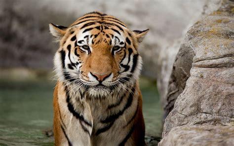 Tiger Wallpapers Wallpaper Cave